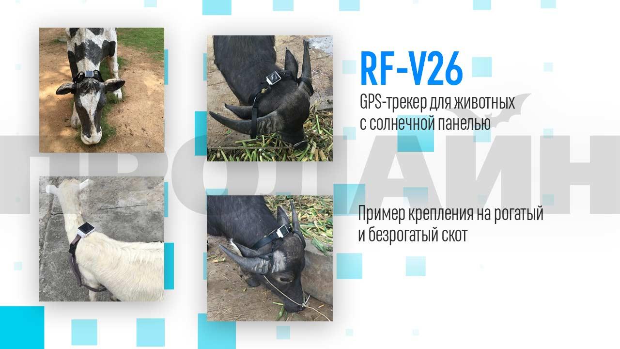 Ремень крепления для безрогих животных RF-V26-2 Strap